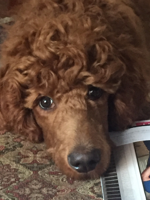 Toy Poodles For Sale Near Me - United ...reliablepups.4everhomess.com